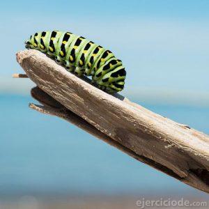 Oruga que se convierte en mariposa