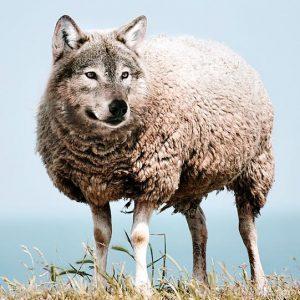 Imagen combinada de lobo y oveja