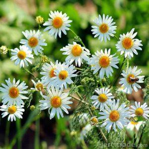Flores ideales para hacer infusión