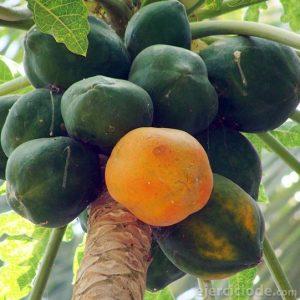 Papaya en estado silvestre